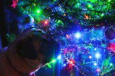 Franklin was admiring the Christmas tree last night.