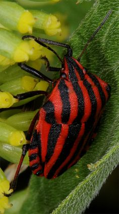 Striped stink bug -  black and red striped bug