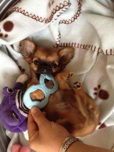 Chihuahua Harybo fait ses dents