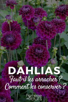 L'hivernage des dahlias : faut-il vraiment les arracher ? Où et comment les conserver pendant l'hiver ?