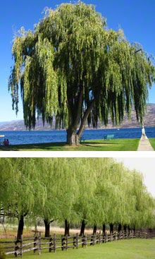 Weeping Willow Trees.  Oh How I wish to be either of these places right now...