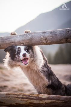 zoe the border collie saying hello
