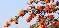 टेसू (Butea Monosperma) परिचय गुण तथा आयुर्वेदिक उपयोग - Key To Health Key, Health, Plants, Unique Key, Health Care, Plant, Planets, Salud