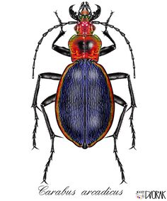 I draw your own pictures on your PC- Carabus arcadicus