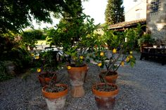 tuscan garden | Pots of Lemon Trees