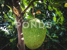 Fresh Jackfruit Hanging On The Tree Among Fresh Green Leaves In The Garden ~ Premium Photo Jackfruit Plant, Fresh Green, Image Photography, Green Leaves, Tropical, Stock Photos, Park, Garden, Plants