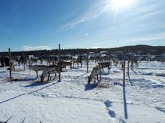 Reindeer riding competition in #Inari #Finland