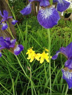 Blå hageiris og daglilje er flotte sammen / Blue Iris and Daylilies are nice together :) 4.6.14/IJ