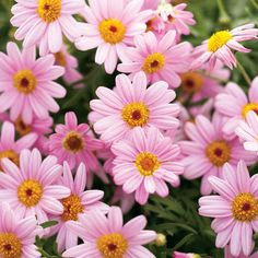 Marguerite Daisy 'Molimba Pink' Argyranthemum - An award winner smothered in pink blooms that can stand on its own or combine in a sunny container with other annuals.