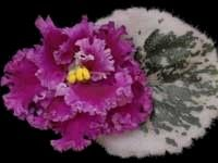 African violet - Old-Fashioned Love -   A splendid variety in which the flower and foliage really compliment each other. The double stars of soft fuchsia have a slightly lighter, fringed edge. The standard foliage is dark green and heavily variegated on the petal edges with beige and rose.  AVSA Reg. #9180  (LLG)  https://www.facebook.com/llgreenhouses