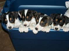 So adorable......a bucket of Jack Russell Puppies!