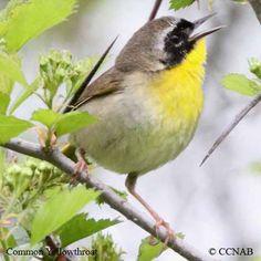 Small Birds of North America   common-yellowthroat-12.jpg
