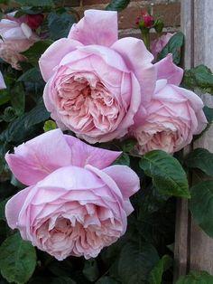 садовый мир   Розапитомник Элит Парковые розы