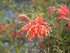 Grevillea Ember Glow A low spreading shrub, which flowers for most of the year. 'Ember Glow' grows approximately 1m high x 2m across and is frost tolerant. Adaptable to most soils. Prefers full sun/part shade. Plant in front of larger shrubs or where low cover is required.