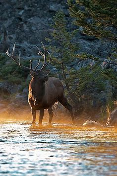 Beautiful Bull Elk