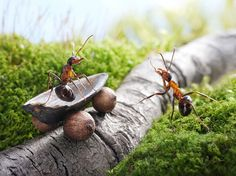 Russian photographer andrey pavlov has developed the macro-photographic series 'ant tales'. picture ants captured in moments of spontaneous or choreographed play. many images picture the bugs using props pavlov has crafted from raw materials from the region such as berries or nut shells. each photo is taken at especially close range by the artist, documenting his insect neighbors near his rural home in their natural environment.