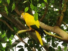 More parrots at the zoo! This is a golden conure (Guaruba guarouba). They are extremely rare.