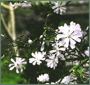 Fragrant Plant List: Trees, Shrubs, Roses, Vines, Perennials, Herbs, Bulbs, etc.