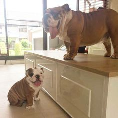 The major breeds of bulldogs are English bulldog, American bulldog, and French bulldog. The bulldog has a broad shoulder which matches with the head. Bulldog Breeds, English Bulldog Puppies, British Bulldog, Bulldog Pics, Cute Puppies, Cute Dogs, Dogs And Puppies, Baby Animals, Funny Animals