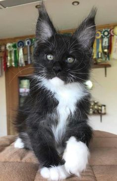 Maine Coon Kittens and Cats - How To Tell If A Kitten Is A Maine Coon? Check out our guide to help you identify the key features of a Maine Coon. Cute Cats And Kittens, I Love Cats, Crazy Cats, Cool Cats, Kittens Cutest, Black Kittens, Pretty Cats, Beautiful Cats, Animals Beautiful