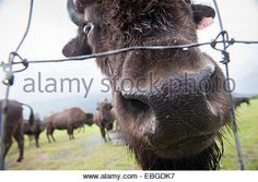 Wood bison (Bison athabascae) in Wood Buffalo National Park Stock ...