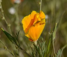 Wind Wolves:  Poppy Memories by Wayne Wong on Capture Kern County // More poppies at 5000 feet...