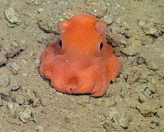 Opisthotheusis Adorabilis   Adorable Octopus!!!  Foto ©Mbari / Monterey Bay Aquarium/IberPress