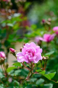 flowersgardenlove:  2012 Spring rose; Si Beautiful