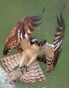Osprey owl dive Photograph By All Birds, Birds Of Prey, Animal Spirit Guides, Spirit Animal, Beautiful Birds, Animals Beautiful, Mundo Animal, Bird Pictures, Colorful Birds