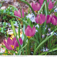Crocus tulip  This is a big group of wild tulips. The one here has a yellow center, or base, but there's another one you might come across with a black center. Blooms Pink with a yellow or black center in early spring.  Size 4 to 6 in. tall, 3 to 5 in. wide. zones 4 to 8. Heat-tolerant AHS zones 8 to 1.