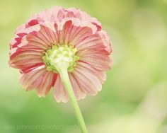 Shoply.com -Pink and Green Zinnia  Fine Art Photography Print 8x10. Only $20.00