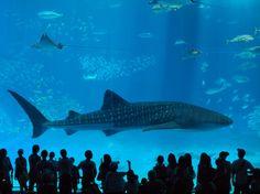 Dimension - Churaumi aquarium, Okinawa, Japan: photo by Pavlovf
