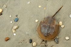 How to Preserve a Dead Horseshoe Crab
