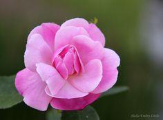 Roses on the farm