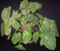 Plants with Heart Shaped Leaves - Make sure to visit GardenAnswers.com and download our free plant idenfication app.