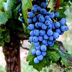 Graciano é uma cepa típica de Rioja, e é considerada por muitos como a mais interessante da região, à frente até da Tempranillo, principal uva de Rioja e da Espanha! É chamada, também de Morrastrel e de Tinta Miúda.