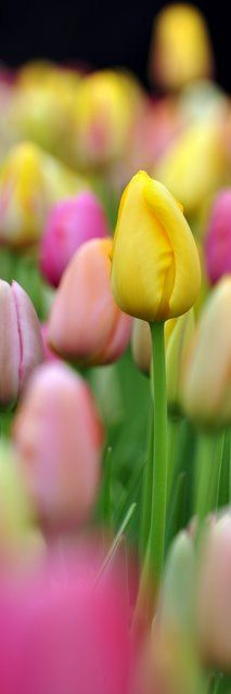 Spring tulips. I want these all over for my wedding. Decided yesterday it was going to be Spring and Tulips!