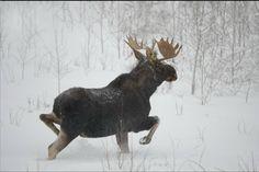 Bull Moose in the snow