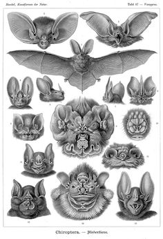 "Ernst Haeckel, Chiroptera (Bats), 1904   From Public Domain Review:   Plate 67 from Ernst Haeckel's visually dazzling Kunstformen der Natur, (Art Forms of Nature), published in 1904. With the assistance of Jena artist-lithographer Adolf Giltsch, Haeckel produced one hundred plates depicting the forms of animal life. With this book Haeckel wanted to create an ""aesthetics of nature"" and to show how the incessant struggle for existence he had learnt from Darwin was in fact producing an endless"