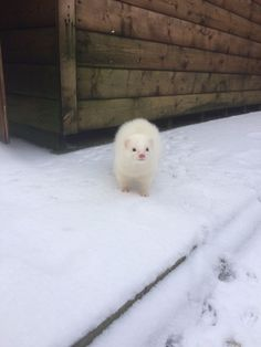 Little fur ball in the snow