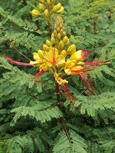 Mi jard n on pinterest 64 pins - Caesalpinia gilliesii cultivo ...