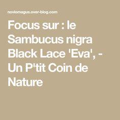 Focus sur : le Sambucus nigra Black Lace 'Eva', - Un P'tit Coin de Nature