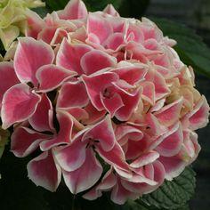 Magnifique Hydrangea Edgy Hearts ! Comme son nom l'indique, ses fleurs ressemblent à de petits coeurs roses.
