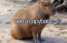 Bucket List- See a capybara.  Oh man.  I love those guys.