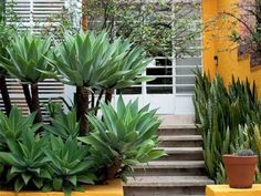 Agave Attenuata, Agaves, Succulents Garden, Garden Plants, Palm Trees Landscaping, Cactus, Hacienda Style, Aquaponics System, Balcony Garden