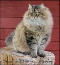 Siberian Forest Cat, Siberian Cat, Cat Memorial, Space Cat, Maine Coon Cats, Fluffy Cat, Beautiful Cats, I Love Cats, Cats And Kittens