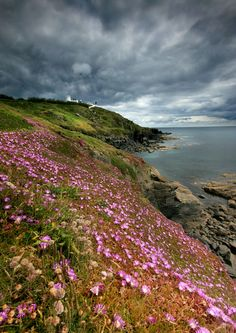 Sea Asters in flower along the banks of Lizard Point, Cornwall, England © Angela Jayne Barnett #travel #tourism #greatbritain #vacation #britain #holidaylettings #britishvacationrentals #discoverbvr #visitbritain