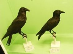 How to Tell Differences Between Crows and Ravens