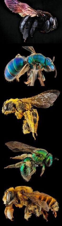 Macro bee portraits by Sam Droege.  Used to distinguish and catalog the thousands of bee species in North America.
