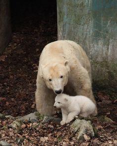 ۥ8  polar bear